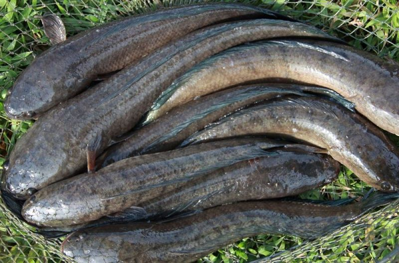 khô cá lóc đặc sản miền tây.